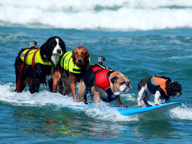 Dogs Surfing Talents Surf-a-Thon Del Mar California USA - 'Nani', a Bernese Mountain Dog (Berner Sennenhund) on a surf board in tandem with her team mates from 'SoCal Surf Dogs' club in San Diego, California , 'Dozer' an English Buldog, 'Ricochet' a Golden Retriever and 'Toby' a Shi Tzu Mix, during the competition 'Surf Dog Surf-a-Thon' of Helen Woodward Animal Center in Del Mar, San Diego County, California, USA (2010), an event which each year showcases the surfing talents of dogs, and serves for fundraising to help pets. This photo was displayed on the PR Newswire Big Screen in Times Square New York and Las Vegas. - , dogs, dog, surfing, talents, talent, Surf-a-Thon, Del, Mar, California, USA, animals, animal, places, place, travel, travels, tour, tours, trip, trips, Nani, Bernese, Mountain, mountains, Berner, Sennenhund, surf, board, boards, tandem, tandems, team, teams, mates, mate, SoCal, club, clubs, San, Diego, Dozer, English, Buldog, Ricochet, Golden, Retriever, Toby, Shi, Tzu, Mix, competition, competitions, Helen, Woodward, Center, centers, county, counties, 2010, event, events, pets, pet, photo, potos, PR, Newswire, Big, Screen, Times, Square, New, York, Las, Vegas - 'Nani', a Bernese Mountain Dog (Berner Sennenhund) on a surf board in tandem with her team mates from 'SoCal Surf Dogs' club in San Diego, California , 'Dozer' an English Buldog, 'Ricochet' a Golden Retriever and 'Toby' a Shi Tzu Mix, during the competition 'Surf Dog Surf-a-Thon' of Helen Woodward Animal Center in Del Mar, San Diego County, California, USA (2010), an event which each year showcases the surfing talents of dogs, and serves for fundraising to help pets. This photo was displayed on the PR Newswire Big Screen in Times Square New York and Las Vegas. Solve free online Dogs Surfing Talents Surf-a-Thon Del Mar California USA puzzle games or send Dogs Surfing Talents Surf-a-Thon Del Mar California USA puzzle game greeting ecards  from puzzles-games.eu.. Dogs Surfing Talents Surf-a-Thon Del Mar California USA puzzle, puzzles, puzzles games, puzzles-games.eu, puzzle games, online puzzle games, free puzzle games, free online puzzle games, Dogs Surfing Talents Surf-a-Thon Del Mar California USA free puzzle game, Dogs Surfing Talents Surf-a-Thon Del Mar California USA online puzzle game, jigsaw puzzles, Dogs Surfing Talents Surf-a-Thon Del Mar California USA jigsaw puzzle, jigsaw puzzle games, jigsaw puzzles games, Dogs Surfing Talents Surf-a-Thon Del Mar California USA puzzle game ecard, puzzles games ecards, Dogs Surfing Talents Surf-a-Thon Del Mar California USA puzzle game greeting ecard